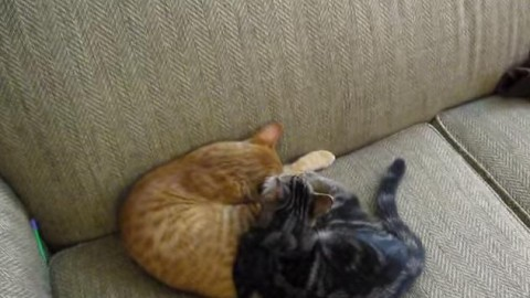 Lovely cats cuddling and kissing (Video Format)